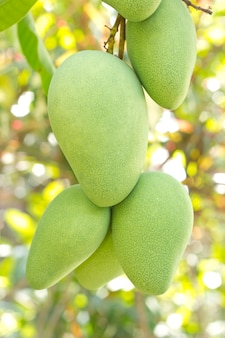 Closeup of mango on tree with fruits