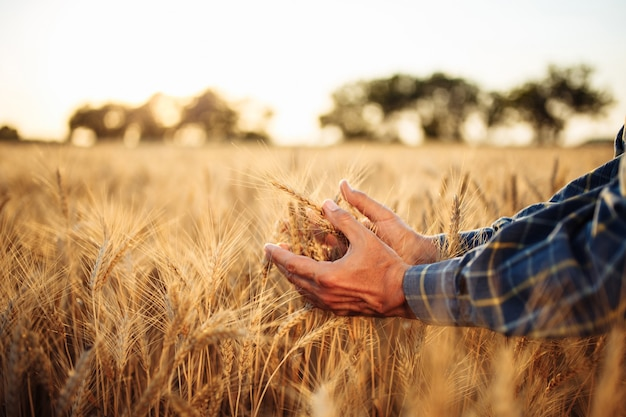 Closeup of the mans hand touching the golden ripen spikelets of wheat in the middle of the field