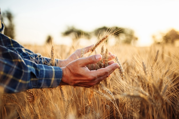 Closeup of the mans hand touching the golden ripen spikelets of wheat