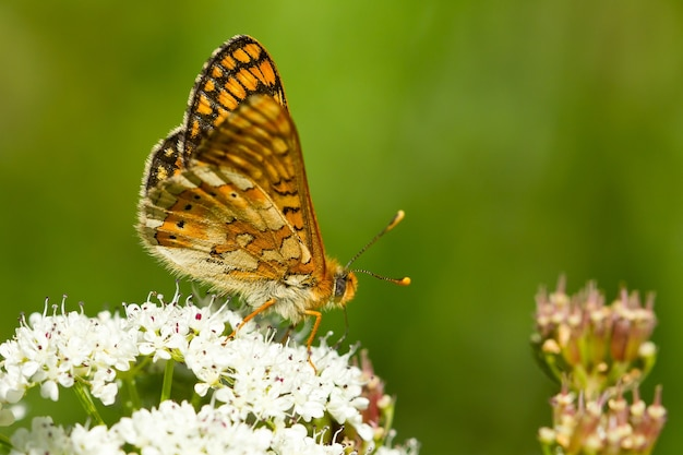 Closeup of a marsh fritillary butterfly on the plant