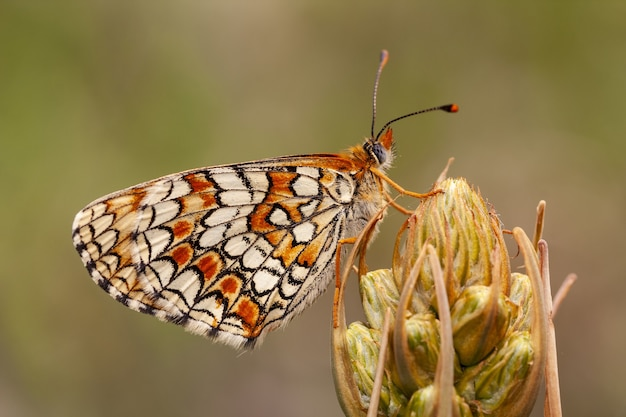 Closeup of a melitaea phoebe on a plant under the sunlight with a blurred background