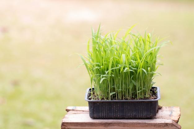 Closeup millet seedlings sudangrass plant