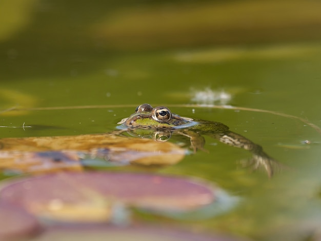 Primo piano di una rana di visone in acqua sotto la luce del sole con uno sfondo sfocato