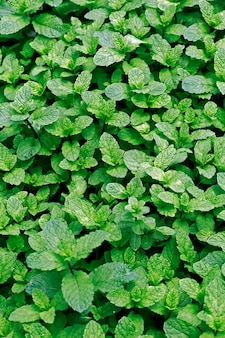 Closeup of mint plants on the plantation beds