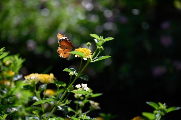 Closeup monarch butterfly on flower