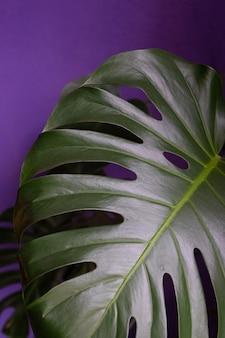 家の内部の濃い紫色の背景の花にクローズアップモンステラ植物