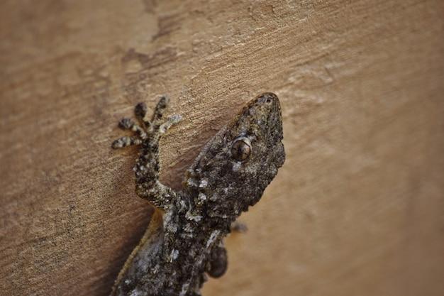 Primo piano di un geco moresco che striscia sui muri sotto le luci a malta