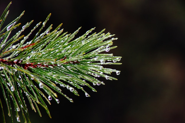 Closeup of morning dew on a branch of a green pine tree