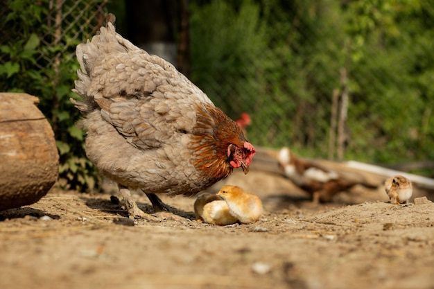 Closeup of a mother chicken its baby chicks on the farm.