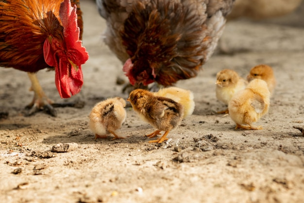 Closeup of a mother chicken with its baby chicks on the farm. hen with baby chickens