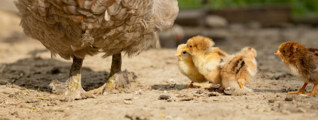 Closeup of a mother chicken with its baby chicks on the farm