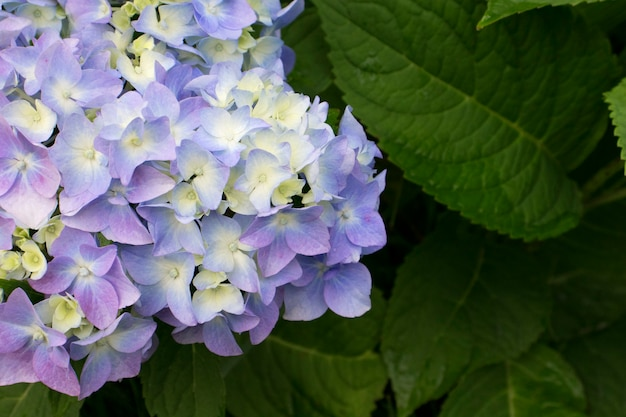 Closeup of multicolored hydrangea are blooming in spring and summer at a garden. hydrangea macrophylla.