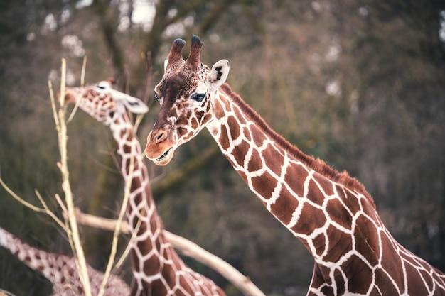 Primo piano della giraffa multipla che mangia dagli alberi