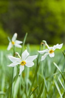Primo piano di fiori di narciso sul plateau de record, france