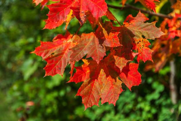 Взгляд падения осени крупного плана естественный красного оранжевого зарева кленового листа в солнце на запачканной зеленой предпосылке в саду или парке. обои октябрь или сентябрь, вдохновляющие природа. изменение концепции сезонов.