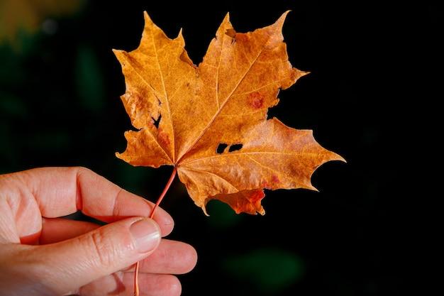 Руки женщины взгляда падения осени крупного плана естественные, держа красный оранжевый кленовый лист на темном фоне парка. обои октябрь или сентябрь, вдохновляющие природа. изменение концепции сезонов.
