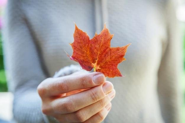 Женщина взгляда падения осени крупного плана естественная вручает держать красный оранжевый кленовый лист на предпосылке парка. вдохновляющие обои природа октябрь или сентябрь. смена концепции сезонов.