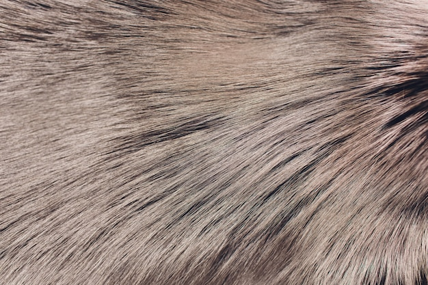 Closeup of natural silver fox fur. fur.