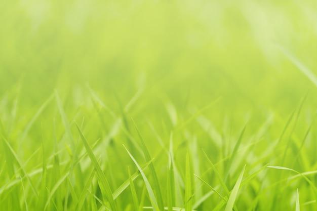 Closeup nature of green grass in garden under sunlight, natural green plant background.