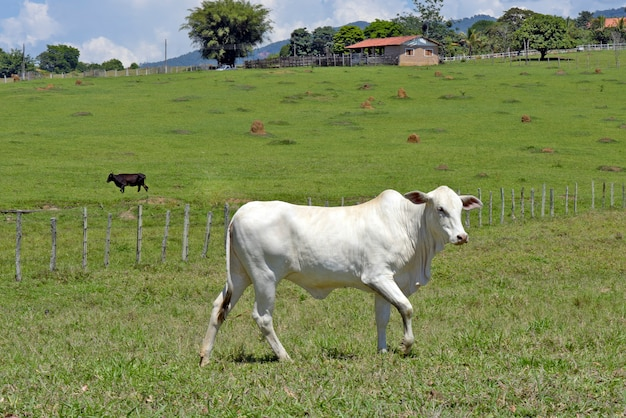 Closeup of nellore calf in the meadow with trees. sao paulo state, brazil
