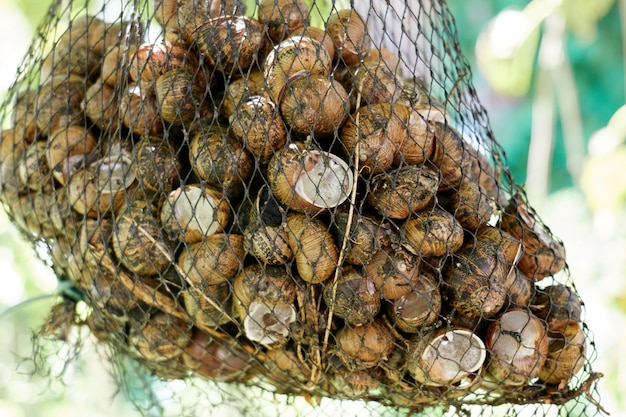 Closeup of net bag of live fresh edible snails