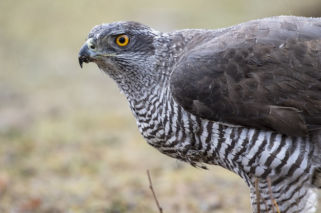 Closeup of a northern goshawk in a field under the sunlight with a blurry background