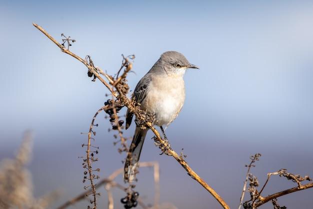 Primo piano di un mockingbird settentrionale su un ramo in un campo sotto la luce del sole con uno sfondo sfocato