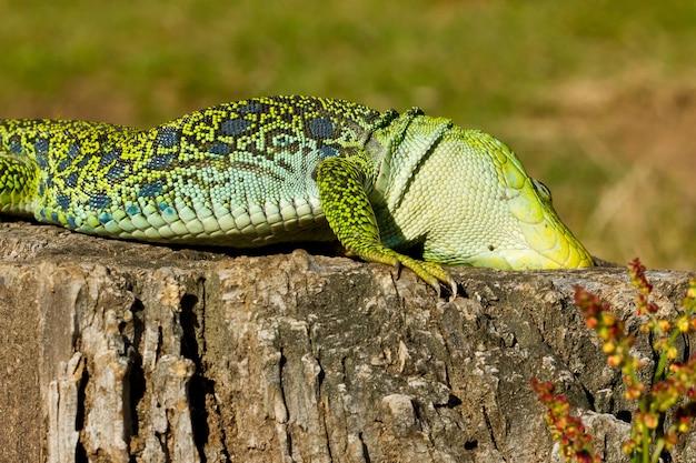 Closeup of an ocellated lizard under the sunlight