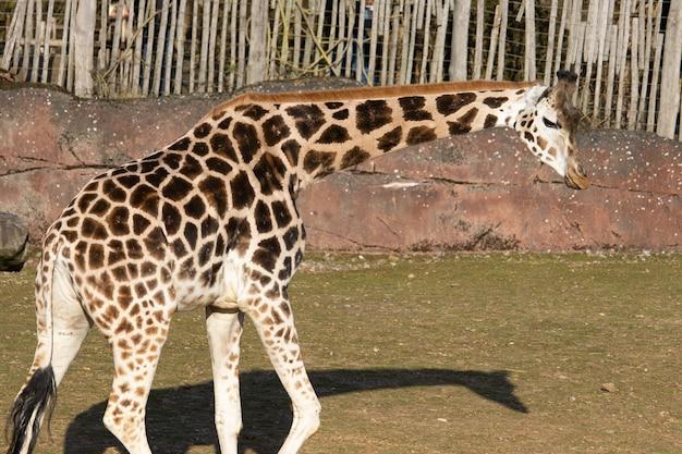 동물원에서 펜 주위를 산책하는 아름다운 기린의 근접 촬영