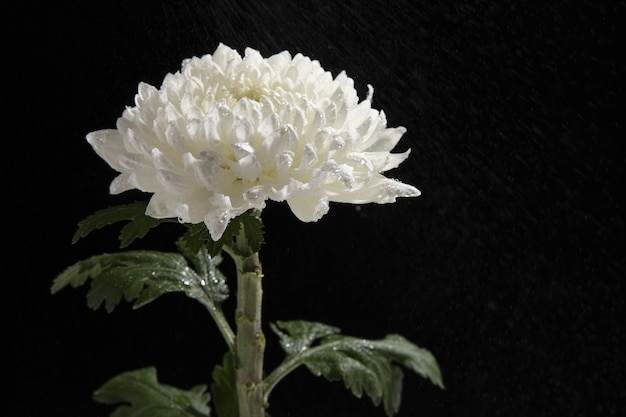 고립 된 아름 다운 흰 국화 꽃의 근접 촬영