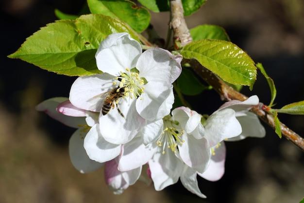 晴れた日に白い桜の花から蜜を集める蜂のクローズアップ