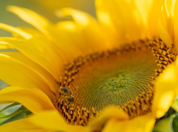 햇빛 아래 아름다운 해바라기에 꿀벌의 근접 촬영