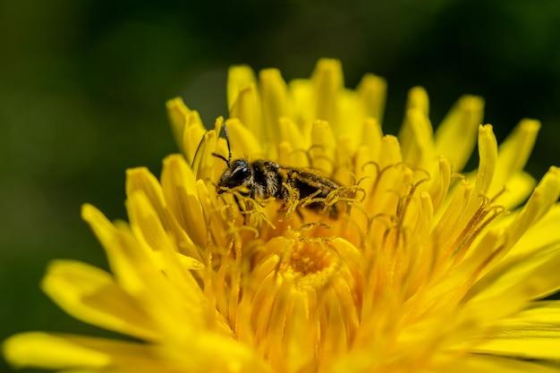 야생에서 꽃이 만발한 노란 꽃에 수분하는 꿀벌의 근접 촬영