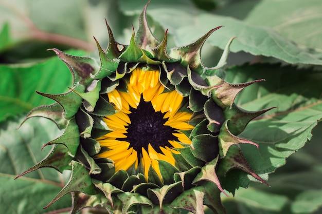Крупным планом цветущий подсолнух в зелени поля