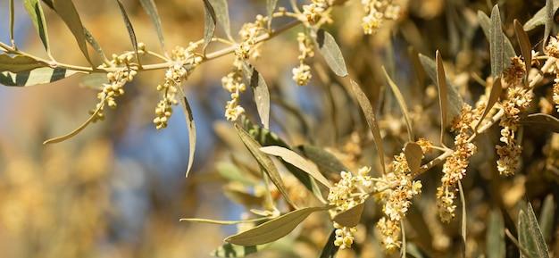 Крупным планом цветущее оливковое дерево весной на кипре, на солнечном фоне голубого неба, место для текста. скопируйте пространство