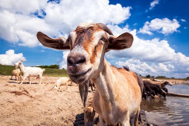 Крупным планом коричневая коза смотрит в камеру на заднем плане стадо овец и коз