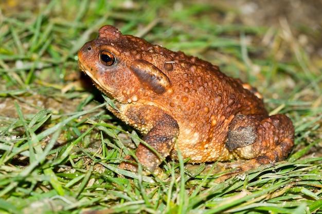 Крупный план жабы bufo spinosus на зеленой траве