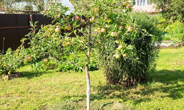 과수원에 있는 사과 나무 가지에서 자라는 유기농 빨간 사과 한 뭉치의 클로즈업