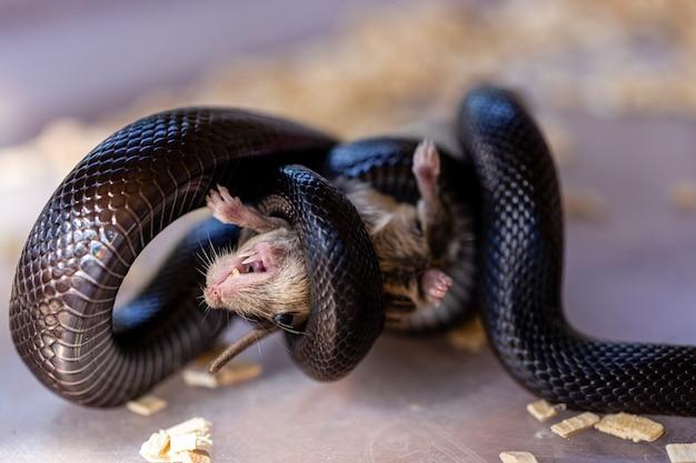 그것의 질식된 먹이를 죽이는 코일된 검은 뱀의 근접 촬영.