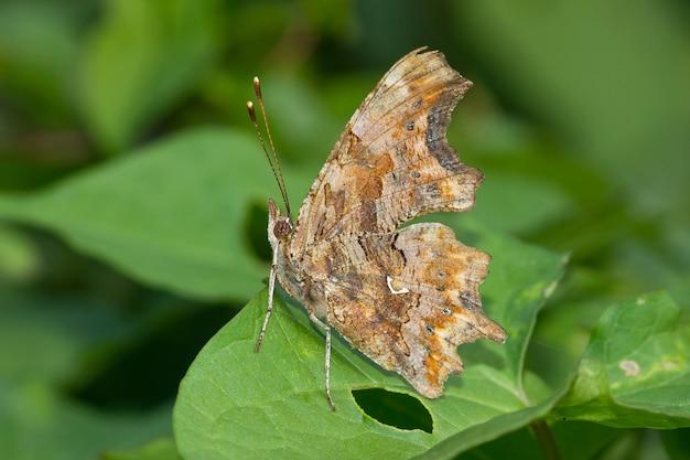 植物のコンマ蝶のクローズアップ