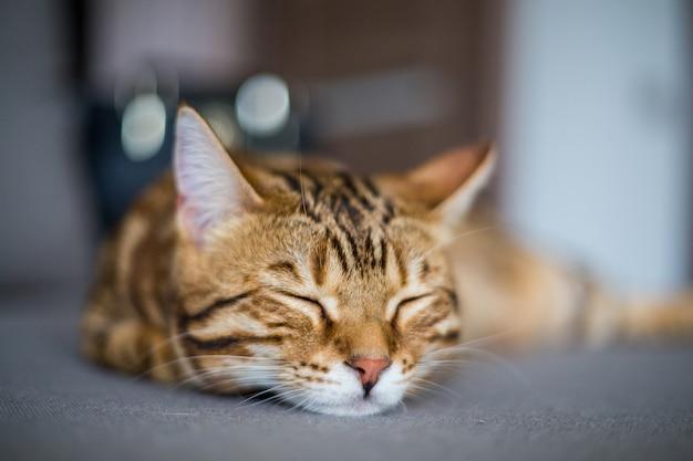 바닥에 잠자는 귀여운 벵골 고양이의 근접 촬영