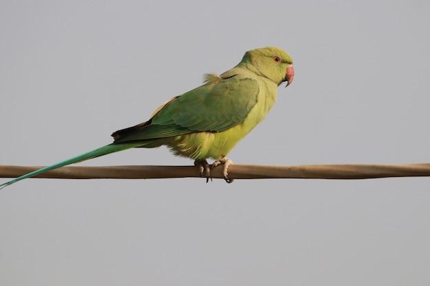 Крупный план милого индийского попугая с кольцевой шеей или зеленого попугая, сидящего на проволоке на фоне голубого неба