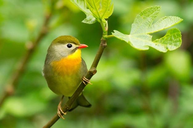 햇빛 아래 필드에서 나뭇 가지에 자리 잡고 귀여운 작은 빨간 청구 leiothrix의 근접 촬영