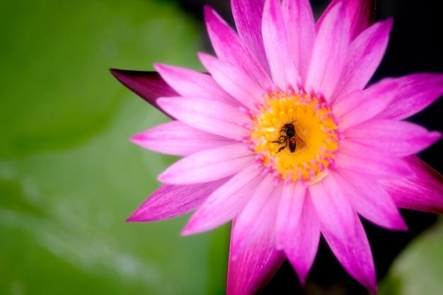 보라색 연꽃의 노란 꽃가루에 죽은 꿀벌의 근접 촬영.