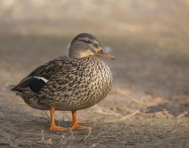 Крупным планом утка, стоящая в дневное время
