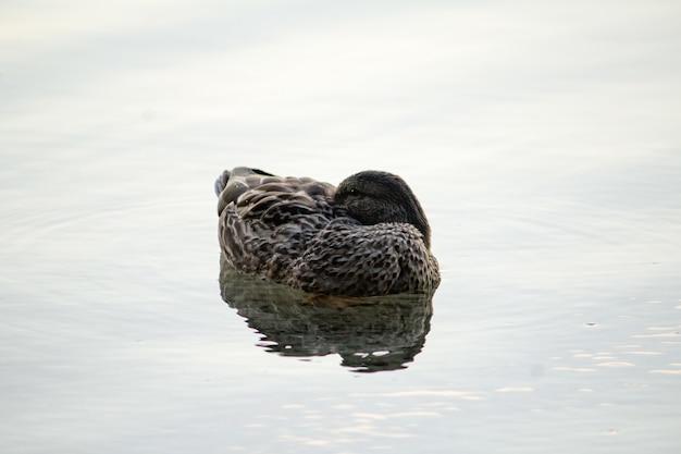 Крупным планом утка, купание в воде