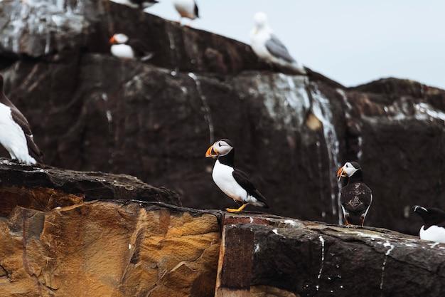 Крупным планом стая морских птиц на скалистом берегу островов фарн в нортумберленде, англия