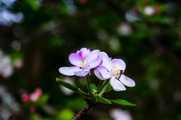 Крупный план мухи на цветке melastome с запачканной естественной предпосылкой
