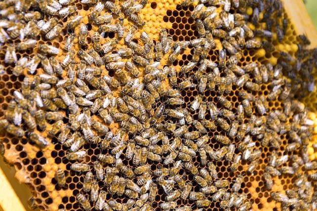 Крупный план кадра с восковыми сотами меда с пчелами на них. рабочий процесс пасеки.
