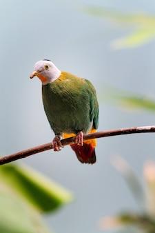Крупный план плодового голубя ptilinopus, сидящего на ветке